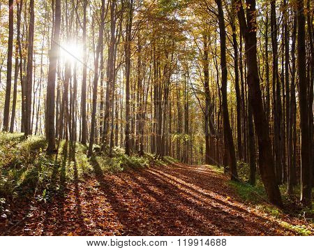 View From Autumnal Hardwood Forest - European Beechs