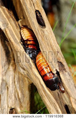Madagascar hissing cockroaches (Gromphadorhina portentosa) on a stick in natural environment