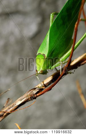 Exotic green grasshopper Caedicia simplex on a branch