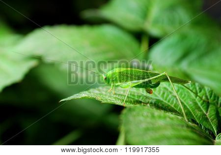 Bright green grasshopper sitting on a lush green leaf