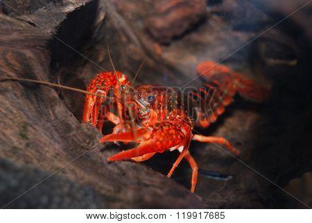 Bright red Louisiana swamp crayfish Procambarus clarkii