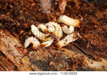 White bug larvae on decomposing tree bark substrate