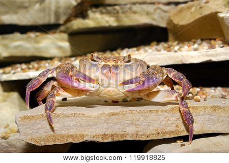 Pink River Crab Potamon Sp. In Natural Environment