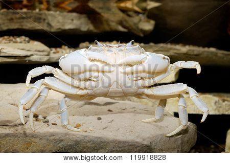 Albino river crab Potamon sp. in natural environment