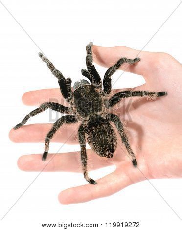Black Curly-hair Tarantula Brachypelma Albopilosum On A Hand Isolated. No Shadow