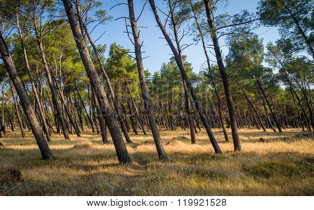 Coniferous forest park with tilted trees