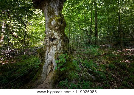 Old tree with hollow. Virgin forests of Biogradska mountain national park