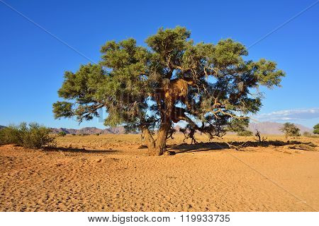 Vachellia Erioloba, Namibia