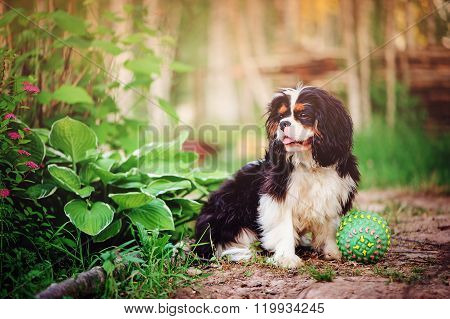 tricolor cavalier king charles spaniel dog relaxing with toy ball in summer garden