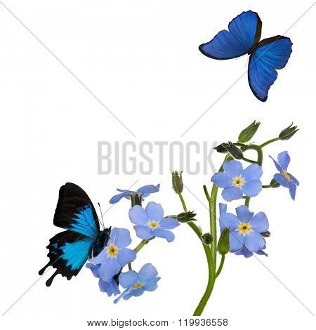 light blue forget-me-not flowers and butterflies isolated on white background