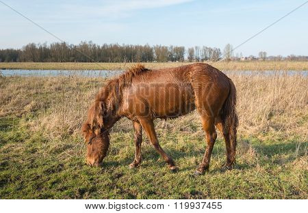 Soaked Icelandic horse grazing in the grass
