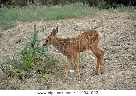 Spotted Mule Deer Fawn on Hillside