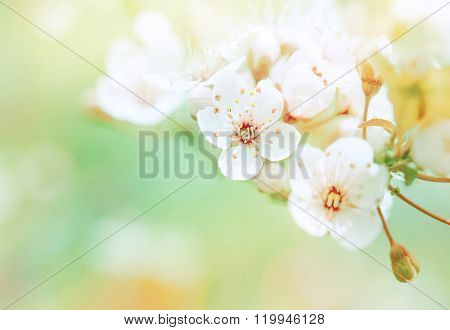 Beautiful spring blooming tree, gentle white flowers, fresh cherry blossom border on green soft focus background, spring time nature