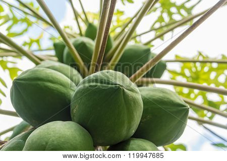 Lower view of papaya tree full of green fruit.