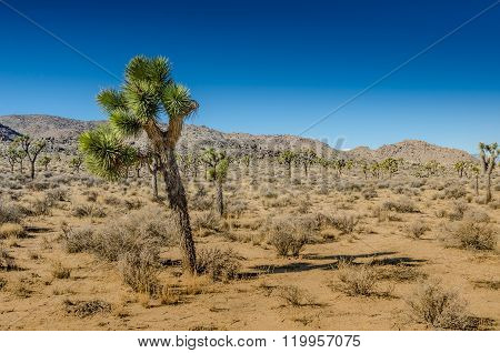 Small Joshua Tree Leaning Over