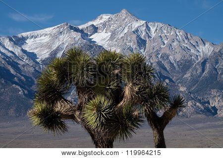 Joshua trees at Manzanar