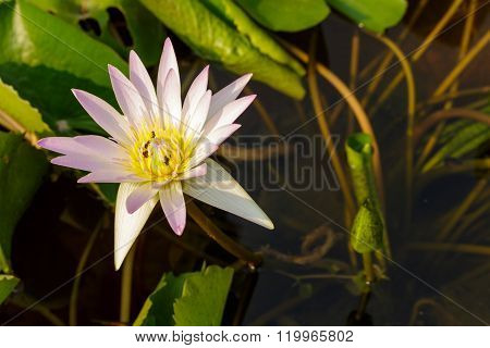 Purple Waterlily In Flowerpot And Bee Eating Flower