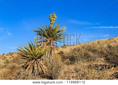 Blooming Yucca Plant In Desert, Nevada