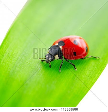 ladybird on green leaf isolated on white background