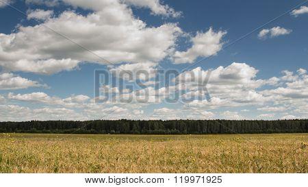 Rye field. Rye ears. Summer landscape