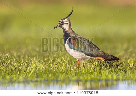 Side View Male Northern Lapwing In Wetland Habitat