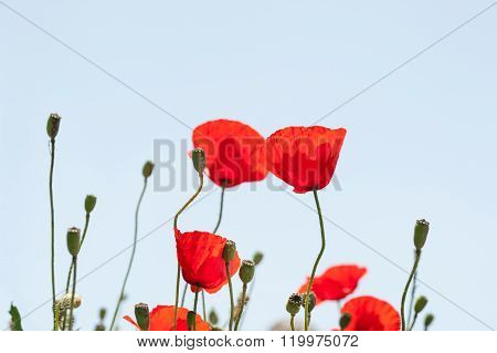 Wild Red Poppy Flowers At Morning Sunlight.