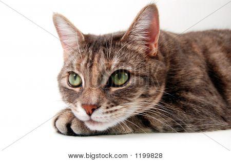 Small Grey Kitten