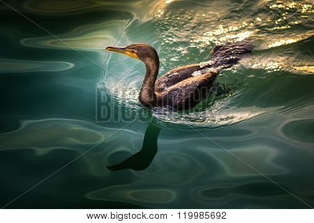 Cormorant In The Water