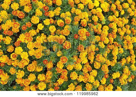 Beautiful Marigold Flowers With Nature Green Background