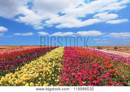 Field of multi-colored decorative flowers buttercups Ranunculus.  Flowers planted with broad bands of colors - red  and yellow