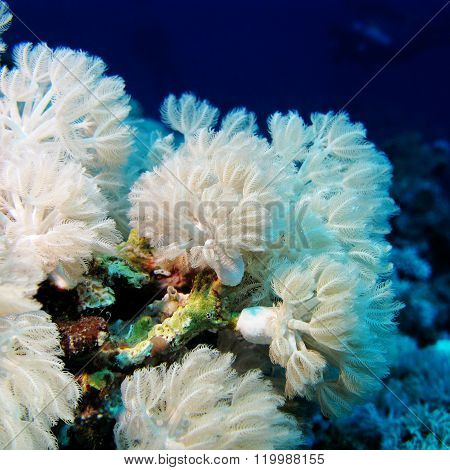 White Soft Coral Xeniidae At The Bottom Of Tropical Sea, Underwater