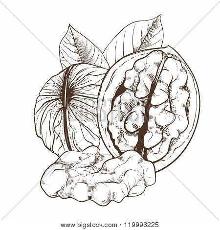 Walnut vector isolated on white background