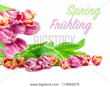 Tulips, White Background