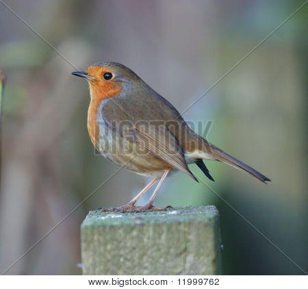 Robin, Europäische