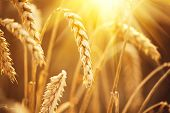 Постер, плакат: Wheat field Ears of golden wheat close up Beautiful Nature Sunset Landscape Rural Scenery under S