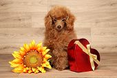 Постер, плакат: Toy Poodle On Wooden Background