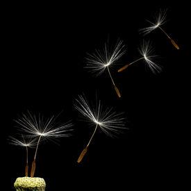 stock photo of dandelion seed  - Dandelion - JPG