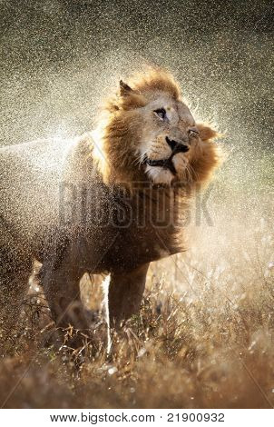 Male lion shaking off the water after a rainstorm - Kruger National Park - South Africa
