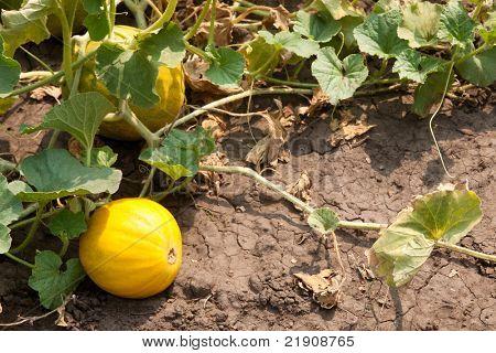 gelber Melone, Melone