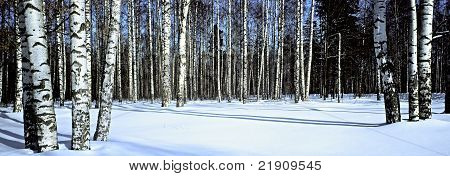 Winter Snow Birch Forest,panoramic