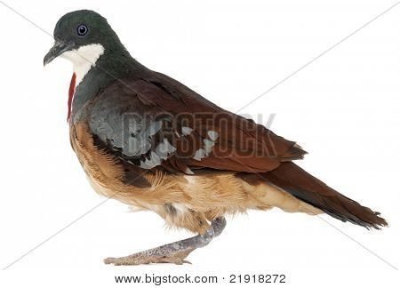 Mindanao Bleeding-heart, Gallicolumba crinigera, adult, in front of white image
