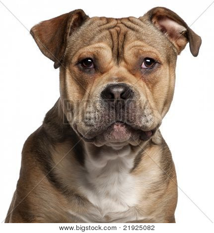 Close-up of American Staffordshire Terrier, 9 months old, in front of white background