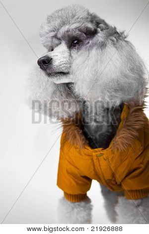 Cute gray poodle with yellow jacket on grey