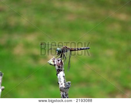 Dragonfly On A Stick