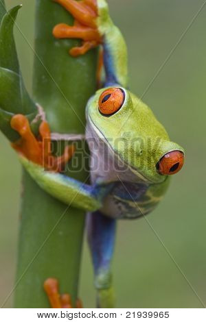 Red-eyed tree frog (Agalychnis callidryas)