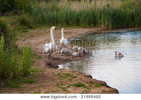 Schwan Familiengruppe