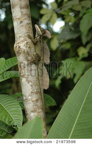 Common Basilisk on tree