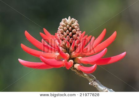 Flower of the Colorin de Rojo