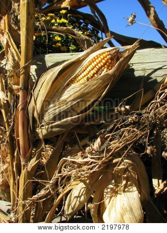 Dried Corn On Stalk
