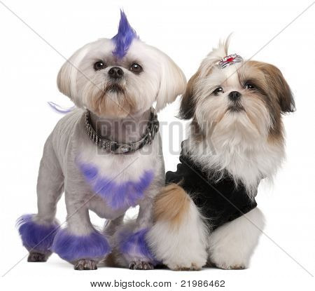 Shih Tzu, 2 years old, Shih Tzu puppy, 5 months old, in front of white background